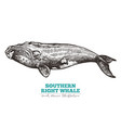 hand drawn southern right whale vector image vector image