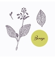 Hand drawn borage borago branch with leaves vector image