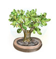watercolor money tree bonsai vector image