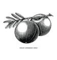 indian gooseberry fruit vintage engraving vector image vector image