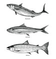 mackerelsardinesalmon fishes hand drawing vintage vector image