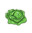 cabbage on white background vector image