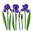 iris flower and leaves drawing hand drawn vector image vector image