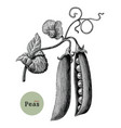 peas branch hand drawing vintage engraving vector image