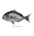 red sea bream fish hand drawing vintage engraving vector image