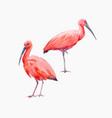 watercolor ibis bird set vector image vector image