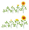 sunflower plant growth stages concept vector image