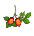 dog-rose isolated on white vector image vector image