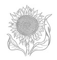 sunflower drawing sketch flower with leaves oil vector image