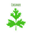 coriander herbchinese parsley vector image