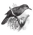 black tailed leaftosser vintage vector image vector image