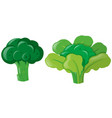 brocolli plant with leaves vector image