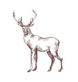 red deer hand drawn with contour lines on white vector image vector image