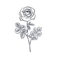 rose sketch on white background vector image vector image