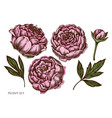 set hand drawn colored peony vector image