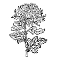 chrysanthemum flower vector image vector image
