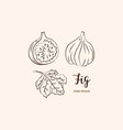 fig fruit drawing sketch figs on a white vector image