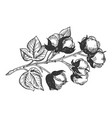 cotton branch engraving vector image vector image