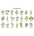 best medicinal herbs for fever vector image vector image