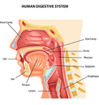 Human Digestive System vector image vector image