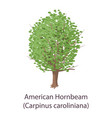 american hornbeam icon flat style vector image vector image
