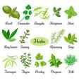 big set of fresh culinary herbs vector image vector image