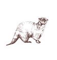 eurasian otter hand drawn with contour lines on vector image vector image