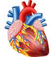 cartoon human hearth anatomy vector image vector image