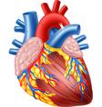 Cartoon of Human Hearth Anatomy vector image vector image