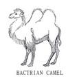 bactrian camel sketch of camelus vector image
