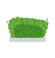 green shrub fence on white background vector image