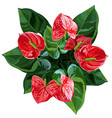 anthurium or flamingo flowers top view vector image vector image
