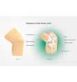 anatomy of the knee joint vector image