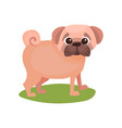 pug dog purebred pet animal standing on green vector image