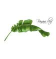realistic image of banana tropic leaf vector image