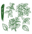mint spice set peppermint spearmint sketch herbs vector image vector image