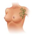 Axillary lymph nodes vector image vector image