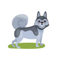 siberian husky dog purebred pet animal standing vector image