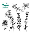 thyme twigs and flowers hand drawn vector image vector image