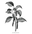black pepper branch hand draw vintage clip art vector image vector image