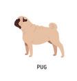 pug or dutch mastiff adorable funny purebred vector image vector image