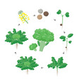 broccoli plant growth stages infographic elements vector image vector image