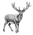engraving reindeer vector image vector image
