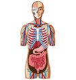 Human anatomy with different systems vector image vector image