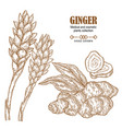 ginger plant set hand drawn ginger root and vector image