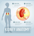 kidneys infographics banner vector image