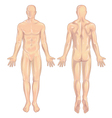 Male body Anterior-Posterior vector image vector image