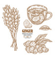 ginger plant set hand drawn ginger root flowers vector image vector image