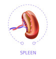 spleen internal human body organ vector image