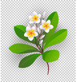 blooming plumeria vector image vector image